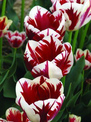 "Grand Perfection - a similar look of the virused Rembrandt tulips that so fascinated plant lovers in the 17th century that it almost toppled their economy, this perfectly healthy modern version has been bred to have the popular streaks and stripes; mid spring; 14""-18""."