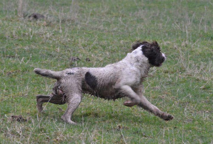 Running Spaniel.