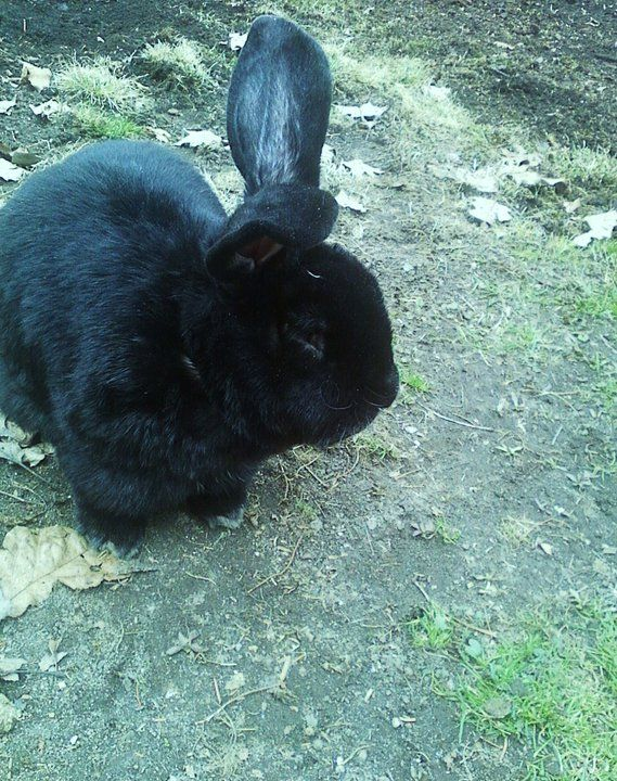 "This is Binx, he is a 22-lb bunny rabbit. My four children were driving around at our local forest and had found him on the side of the road skinny and loaded with ticks and fleas. Nobody came forward to claim him, that was 6-yrs ago.  Binx is now getting up there in age and is a bit stiff in his backside. The vet said he is fine and this is just a sign of getting old.   RIP 9/16/12 Binx had to put to sleep due to health complications. <img src = ""foo.jpg"" nopin = ""nopin"" />"