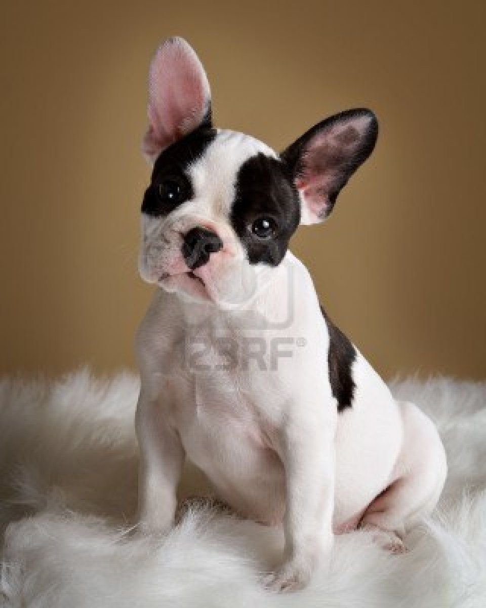 Stock Photo French Bulldog Puppies Dog Friends Cute Animals