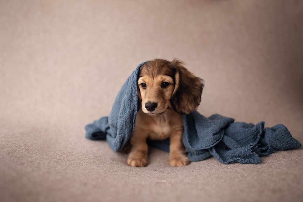 Darling Dachshund Puppy Portraits Dachshund Puppies Dogs