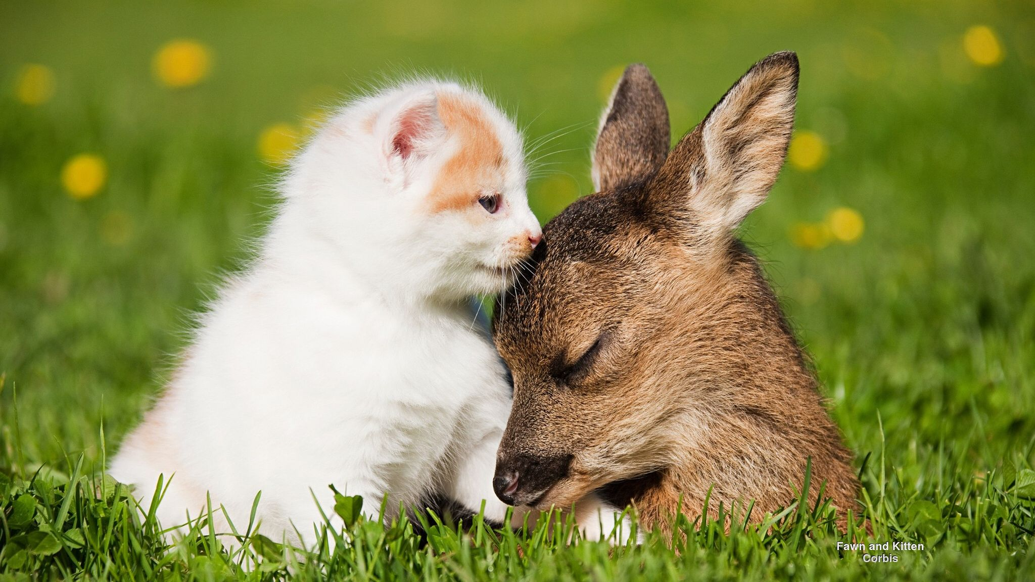 Fawn And Kitten Cute Animals Cat Cuddle Animals