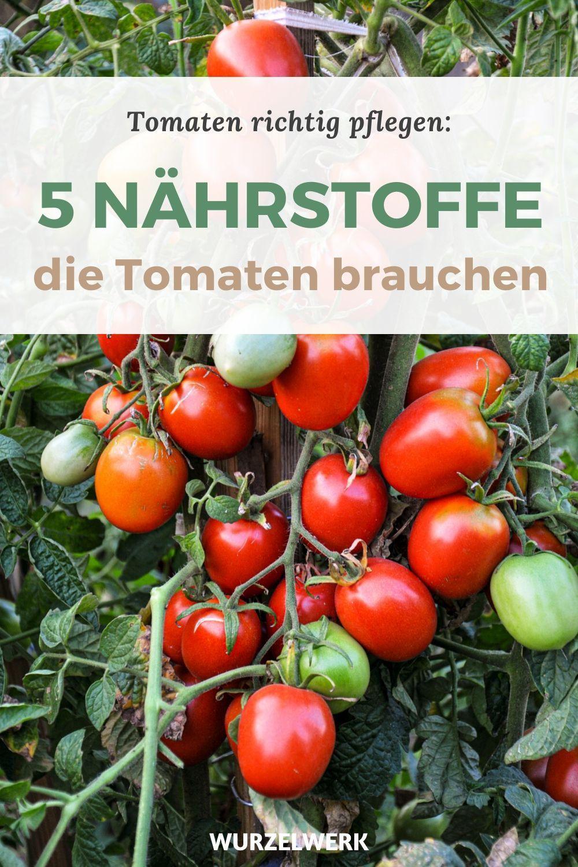 Tomaten Richtig Dungen Wann Wie Mit Welchen Dunger Wurzelwerk In 2020 Tomaten Garten Tomaten Gemuse Anpflanzen
