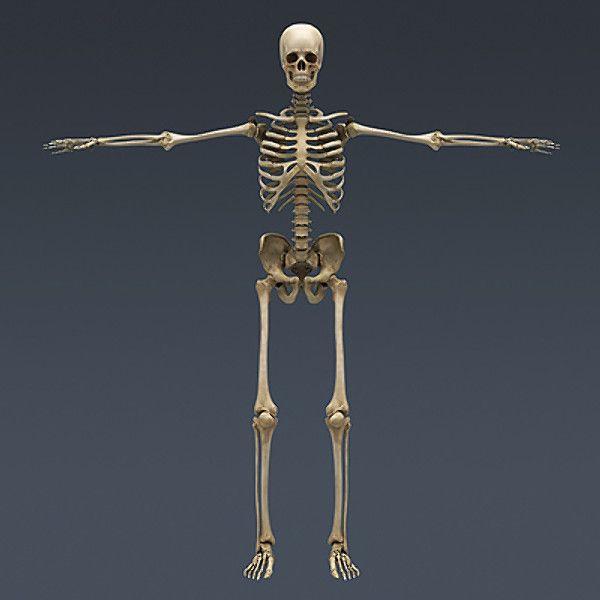 Human Skeleton Nose Anatomy 3d Model Day Of The Dead Pinterest
