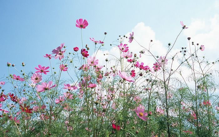 Cosmos Garden Cosmos Flowers Flowers Cosmos Flower Pictures