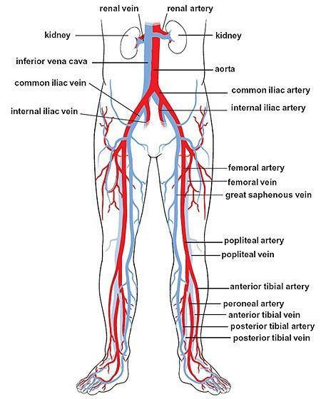 Lower Body Artery Diagram Wiring Library