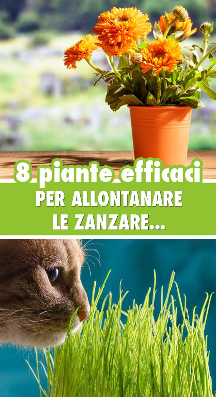 Photo of Piante antizanzare: Le 8 più efficaci per giardino e balcone!