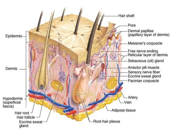 Skin Anatomy and Physiology | Anatomy. Physiology. | Pinterest
