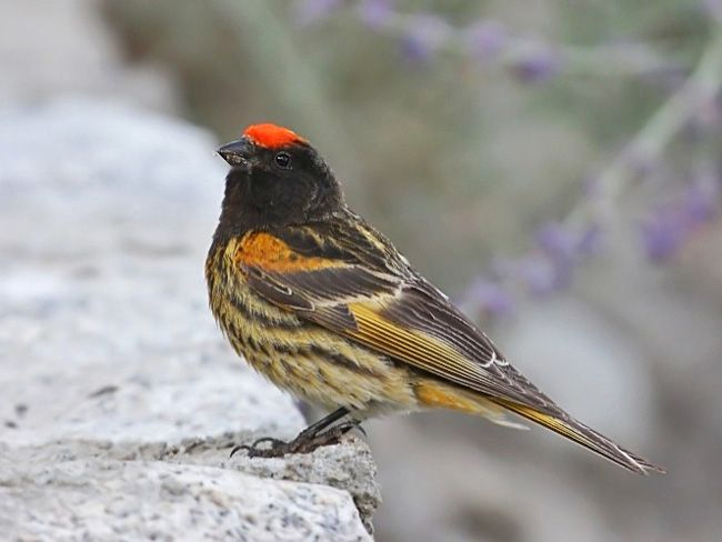 Red-fronted Serin | BIRDS FRINGILLIDAE - finches, canaries