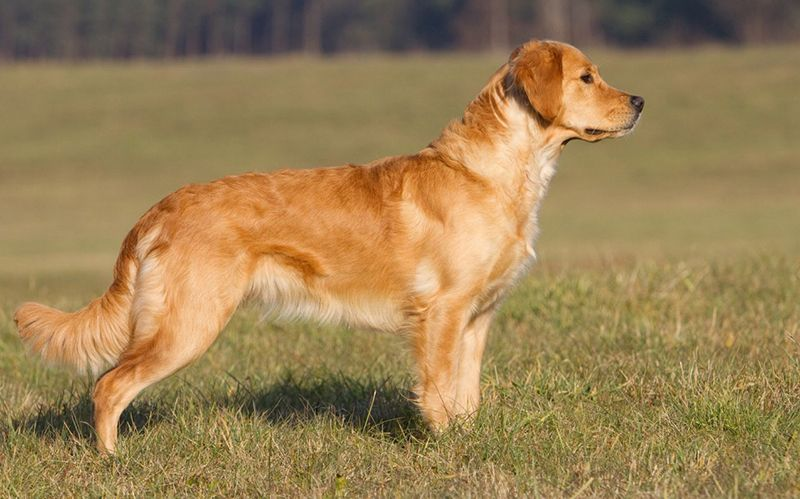 Golden Retriever Breed Profile Dogs Golden Retriever Golden