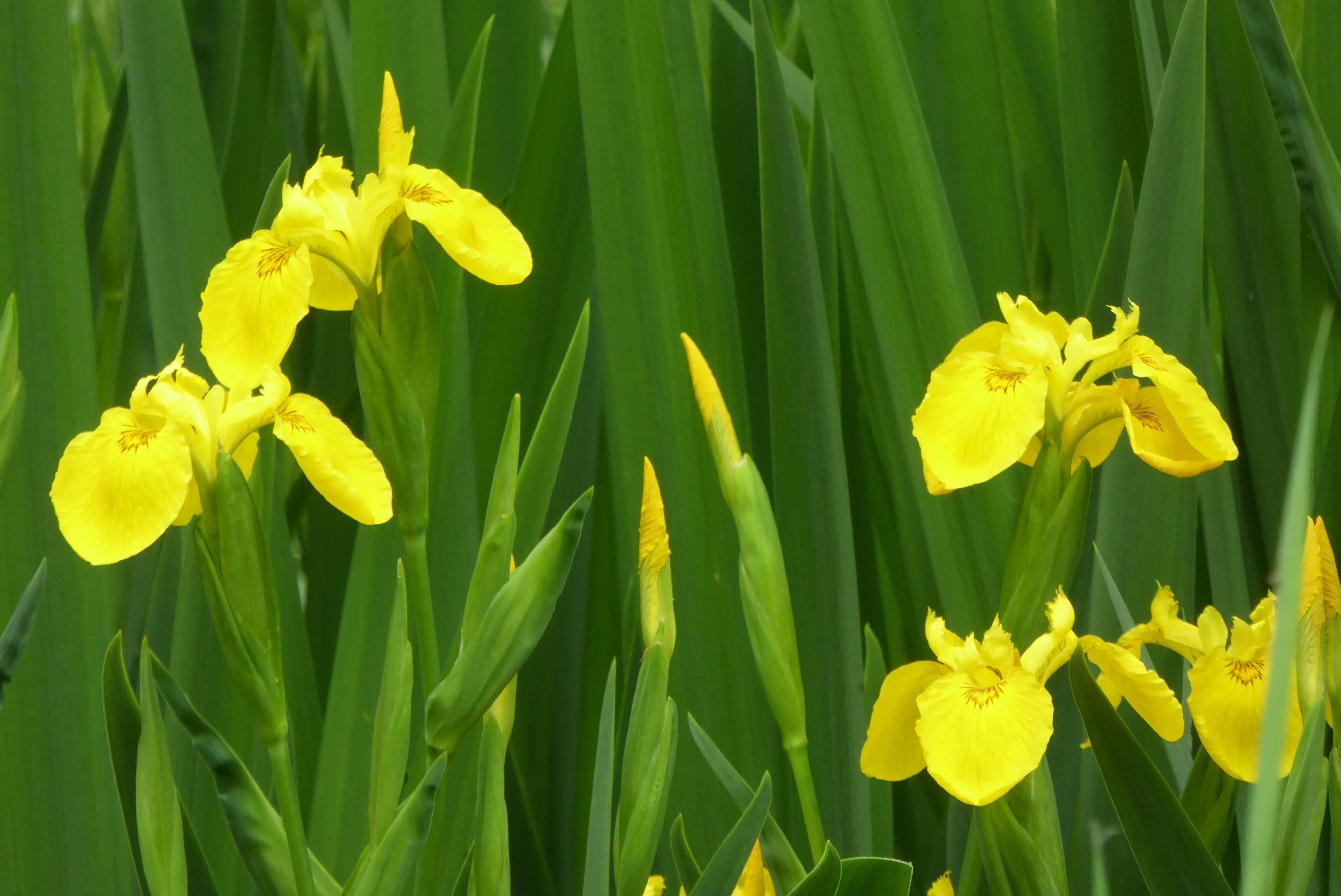 Iris Pseudacorus Is A Species Of Iris Native To Europe Western Asia And Northwest Africa Common Names Include Yellow Iris And Ye Rhizome Plants Wild Flowers