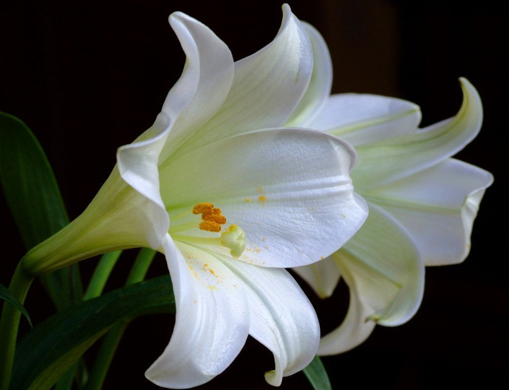 Romantic Flowers Lily Flower White Lily Flower Lily Flower White Lilies