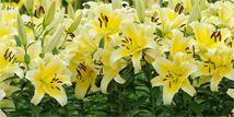 ユリ  カティーナ(Catina )このユリは中心から黄緑のラインが鮮やかな黄色に包まれながら星形に広がり、ローズピンクへと変化していく美しいグラデーションが特徴的。 花びらは輪のように反り返り、多くの花が重なり合って咲く様子は華やかな印象です。 また、コルシーニは濃いローズピンクの花はにぎやかに、淡い色の花は楽しさを感じさせる。
