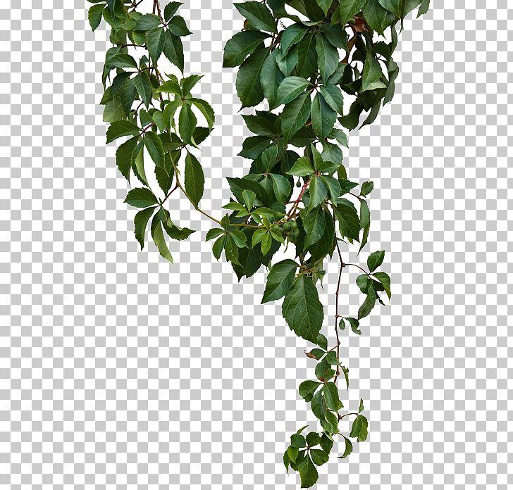 Vine Png Clipart Branch Climb Climbing Climbing Plants Climbing Tiger Free Png Download Climbing Plants Plants Vines