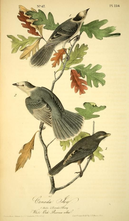 v.4 (1842) - The birds of America : - Biodiversity Heritage Library
