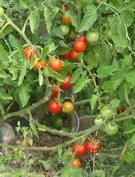 Tomaten anbauen: Tomaten selber ziehen / pflanzen -  # #tomatenzüchten Tomaten anbauen: Tomaten selber ziehen / pflanzen -  # #tomatenpflanzen
