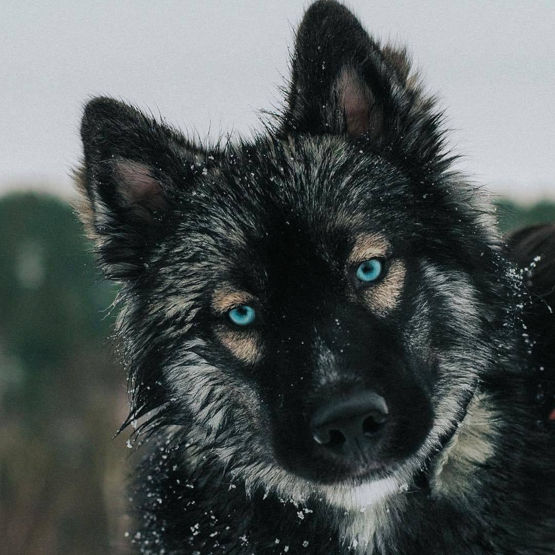 Adventure Siberian Huskies By Thehuskyjoey Please Don T Siberian Husky Husky Agouti Husky