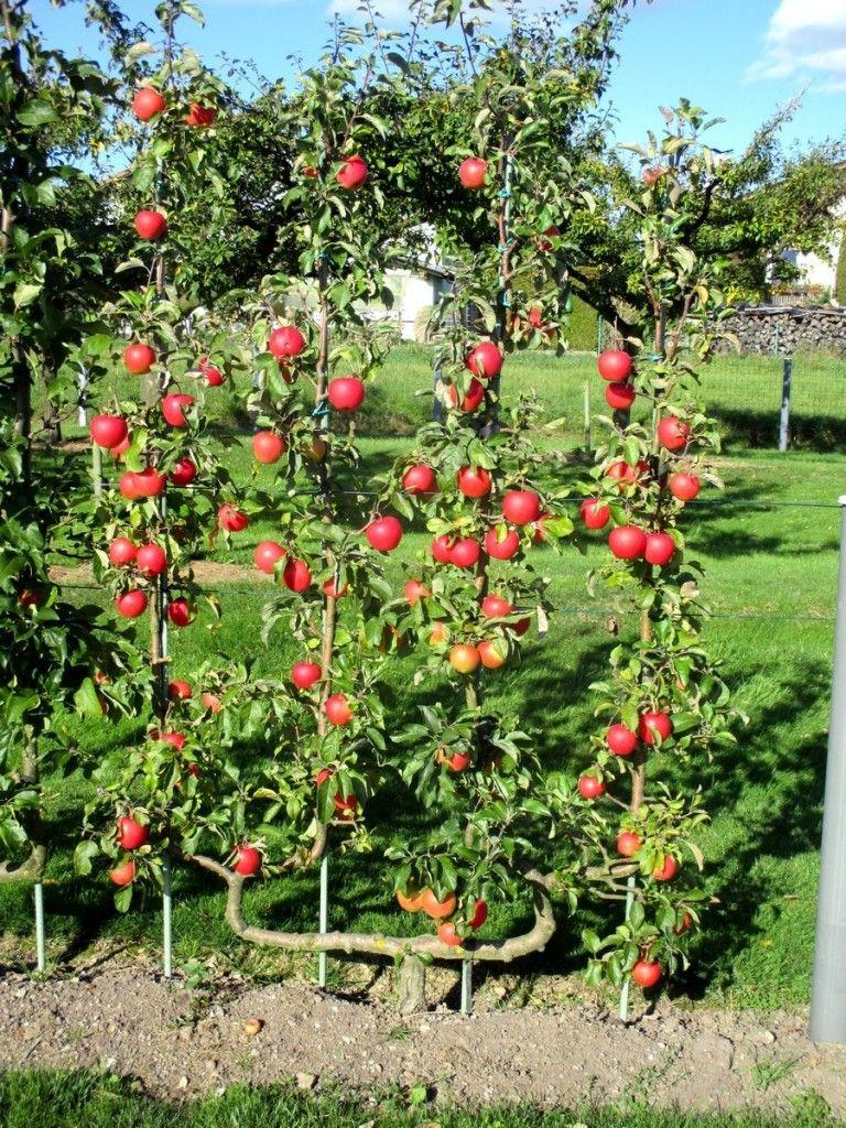 Image result for arbres en espaliers images pinterest