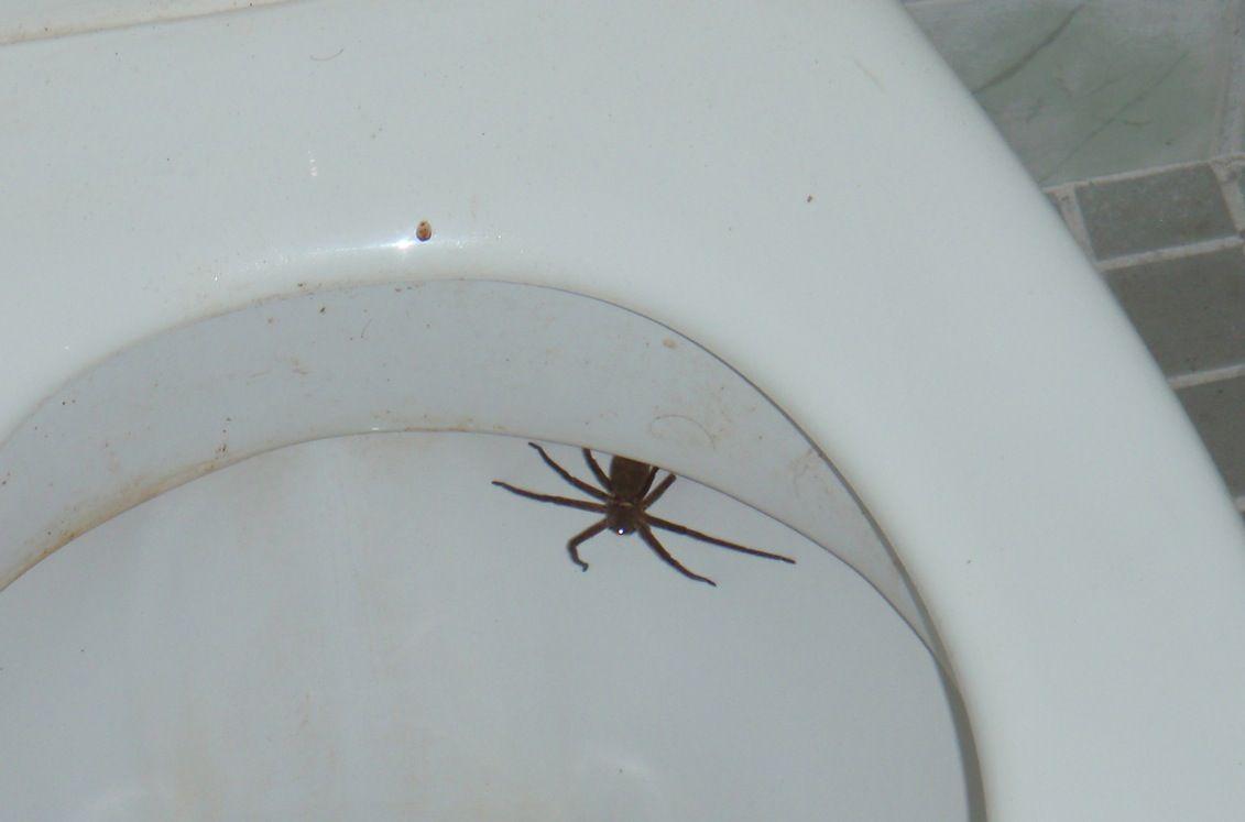 Toilet Spiders At Florida Olive Garden Deemed Hoax Olive Gardens Florida Toilet
