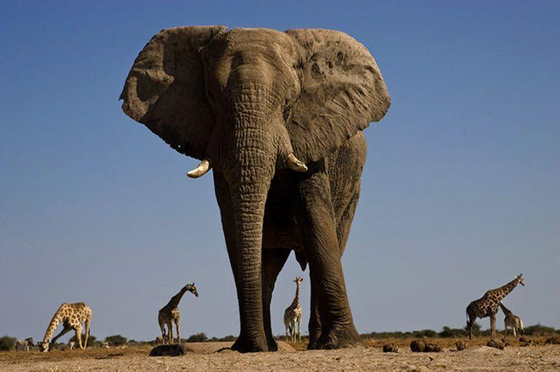 африканские слоны фото