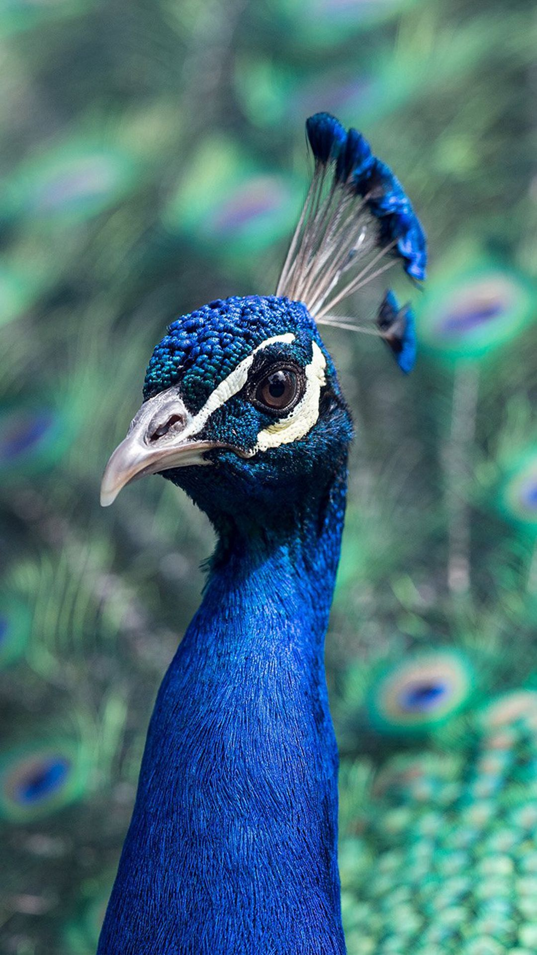 Peacock Animal Bird Nature Blue iPhone 8 Wallpapers Bird