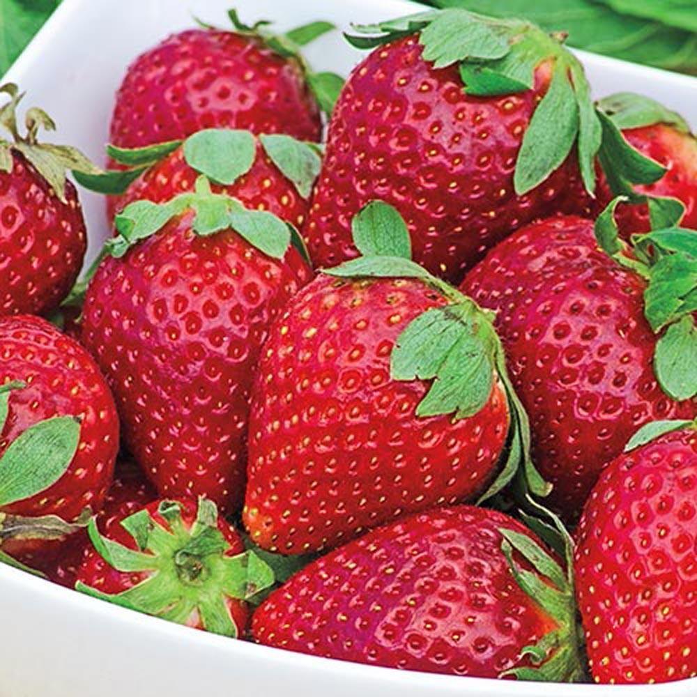 Gurneys earliglow junebearing strawberry bareroot plants