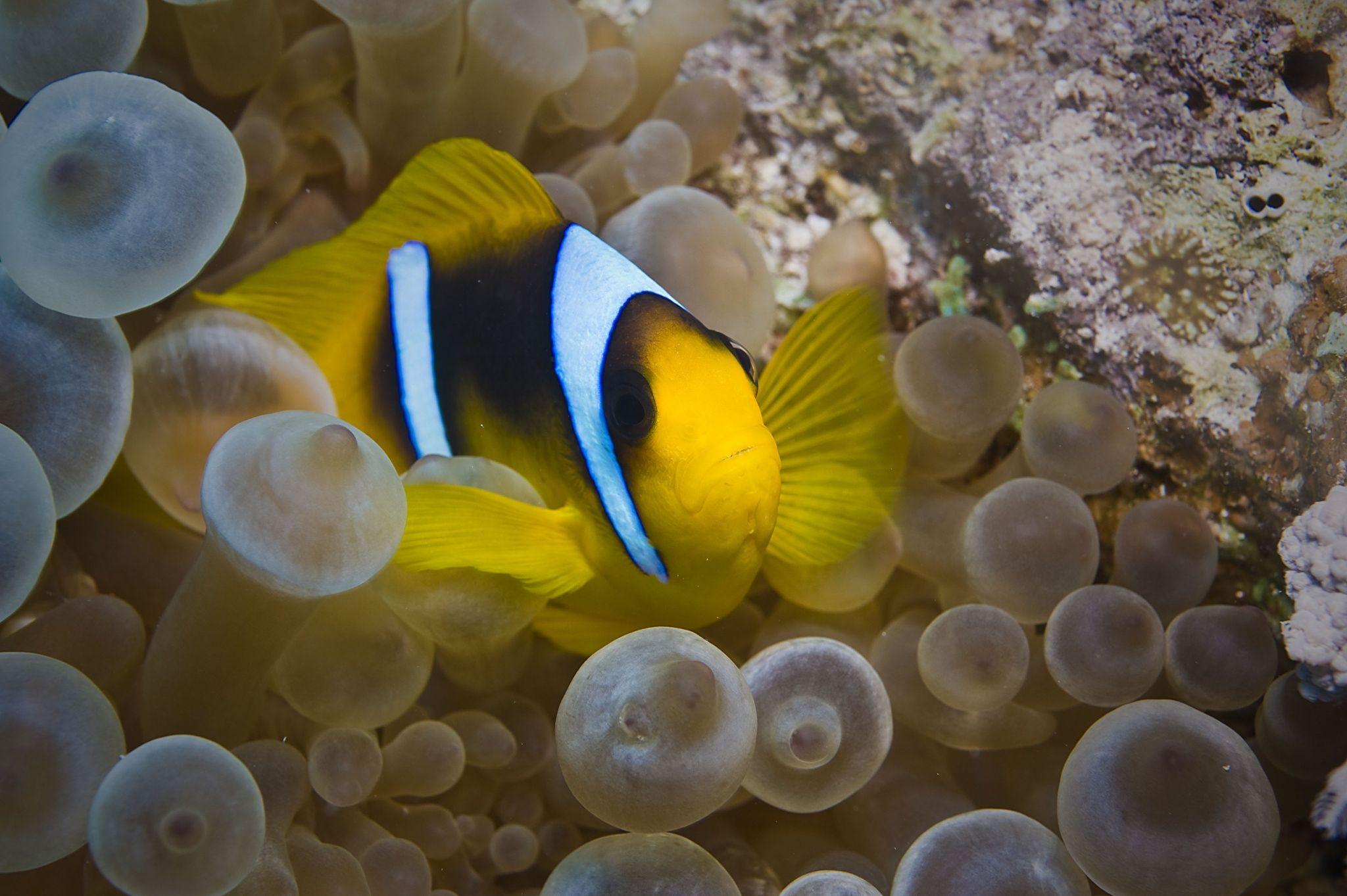 Clownfish, Red Sea by Warren Lo on 500px