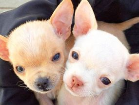 Adorable Chihuahua Puppies Whose Mother Died Giving Birth Are