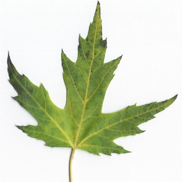 Silver Maple Leaf Trees To Plant