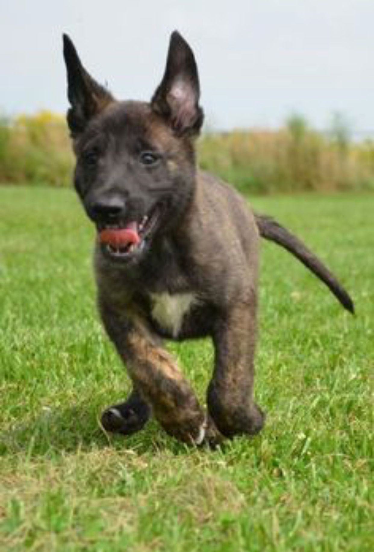Pin By Kaitlyn Coleman On Dutch Shepherd Dutch Shepherd Dog Fluffy Dogs Baby German Shepherds