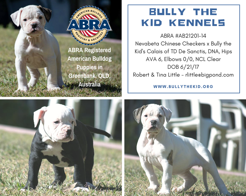 Pin By American Bulldog Registry Ar On American Bulldog Puppies