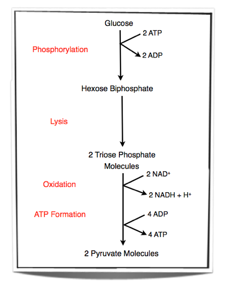 IB    Biology    Notes  81 Cell respiration   812 outline the process of    glycolysis     including