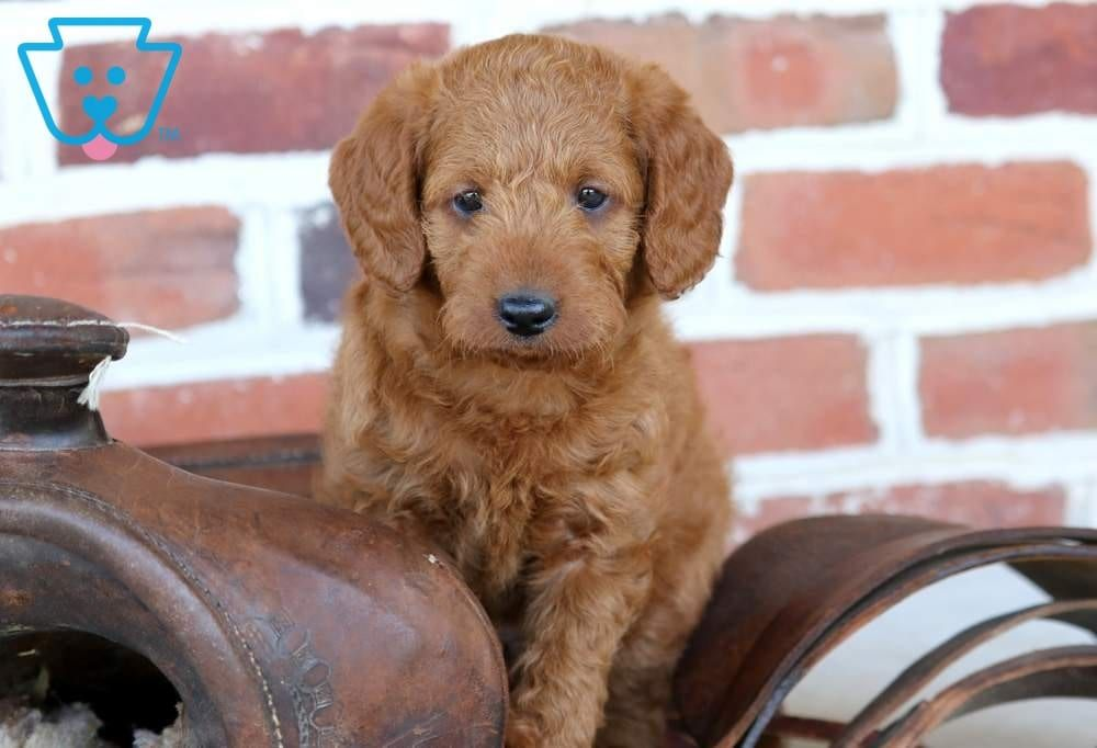 Zavier Labradoodle, Puppies, Puppies for sale