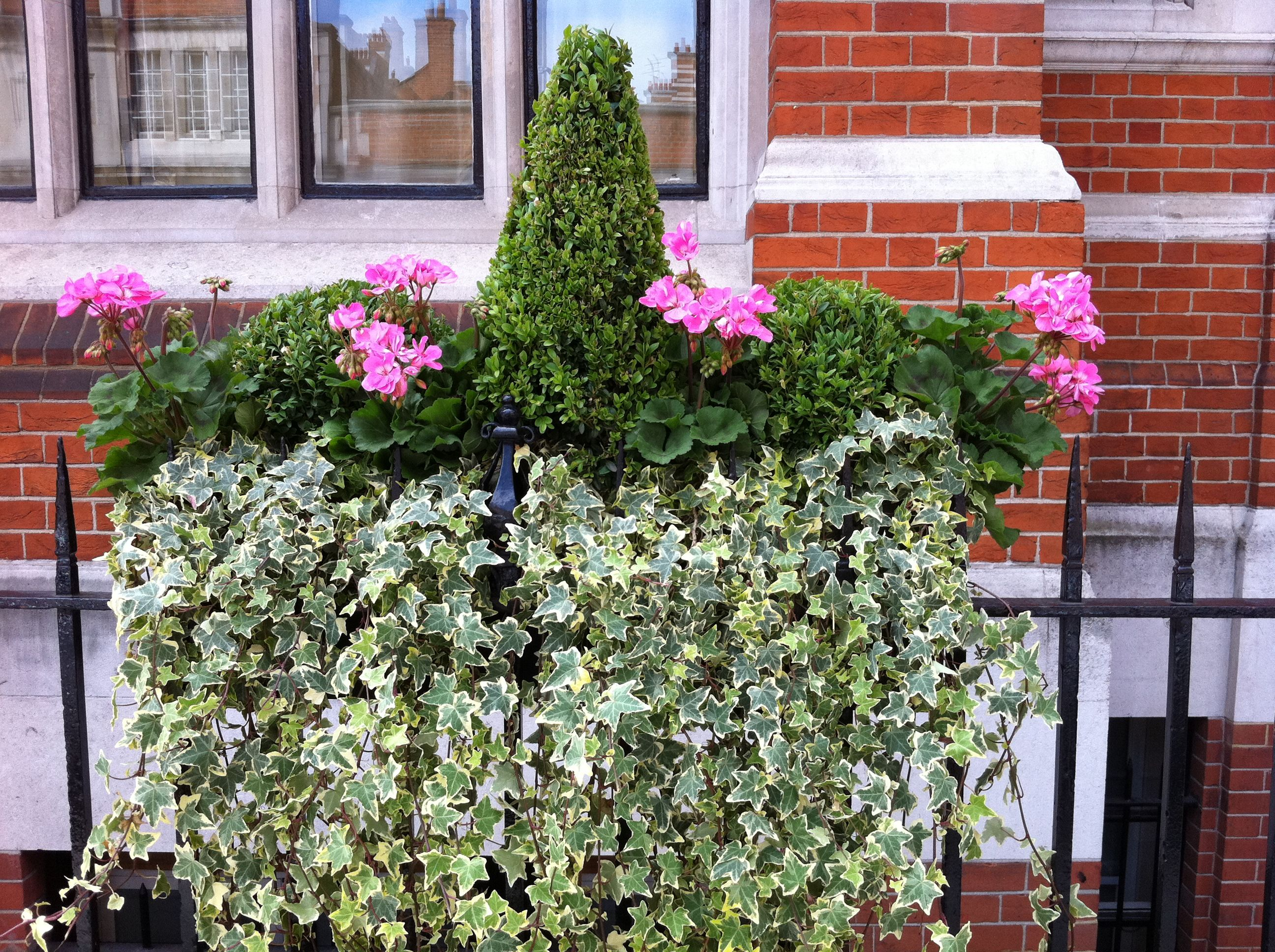 Pelargoniums for London Window Boxes height dangling and color