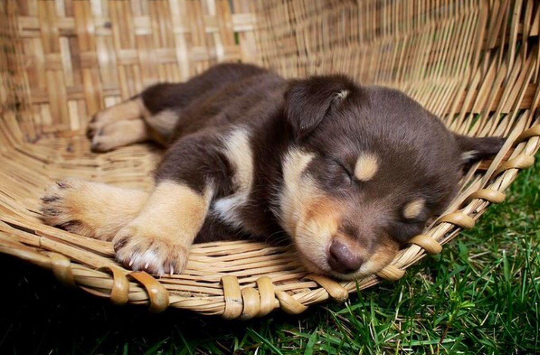 Australian Kelpie Adorable Working Dogs