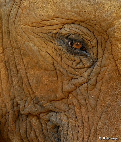 The Eye of the Elephant.......... by Martin_Heigan, via Flickr  # Wild Elephants multicityworldtravel.com We cover the world over 220 countries, 26 languages and 120 currencies Hotel and Flight deals.guarantee the best price
