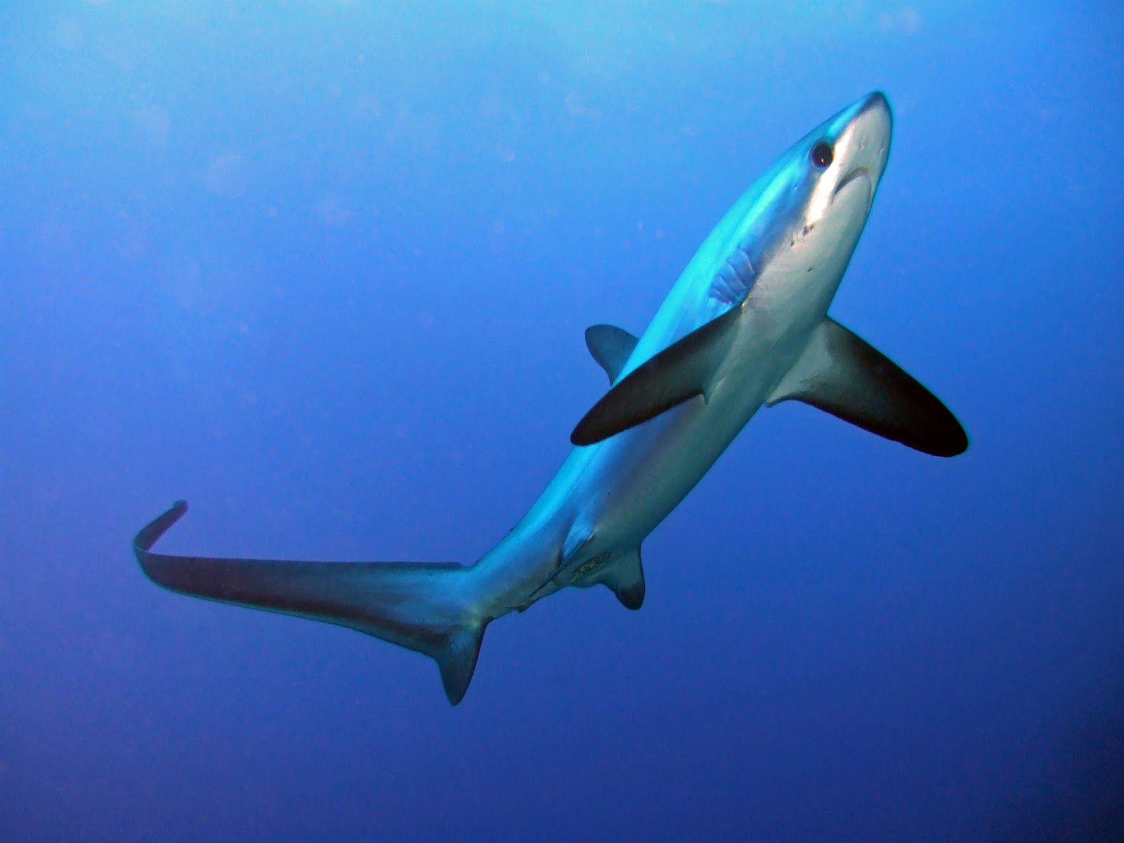 Really cool species know as the thresher shark they use for Shark tail fish