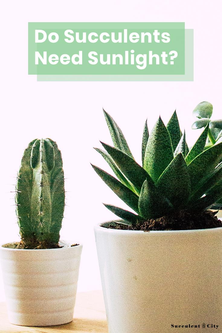 Succulent Tips Do Succulents Need Sunlight? Succulents