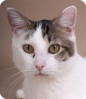 Chicago, IL - Domestic Shorthair. Meet Eli, a cat for adoption. http://www.adoptapet.com/pet/16648802-chicago-illinois-cat