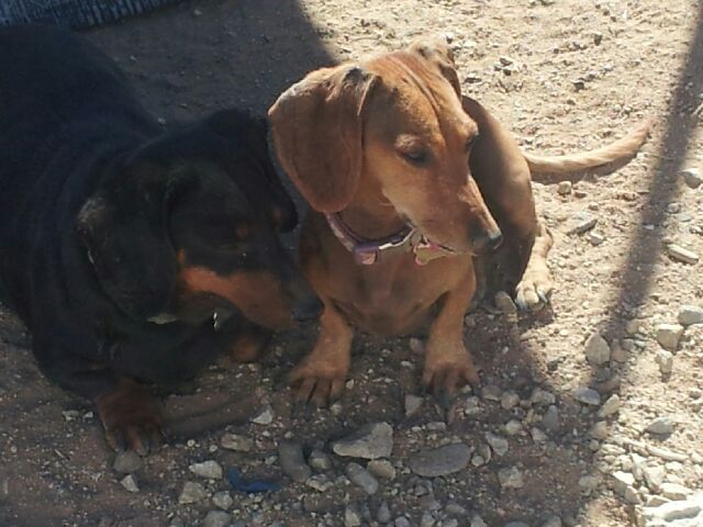 Adopt Daisy on Dogs, Dachshund dog, Adoption