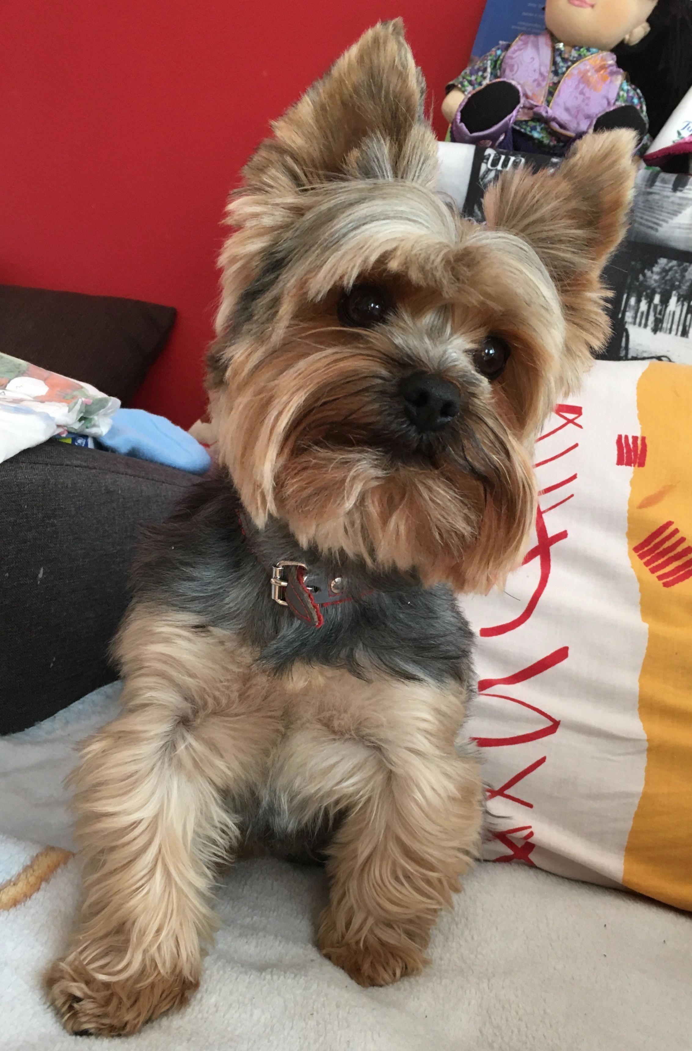 Yorkshireterrier Yorkie Terrier Yorkshire Terrier Dog Yorkshire Terrier Puppies