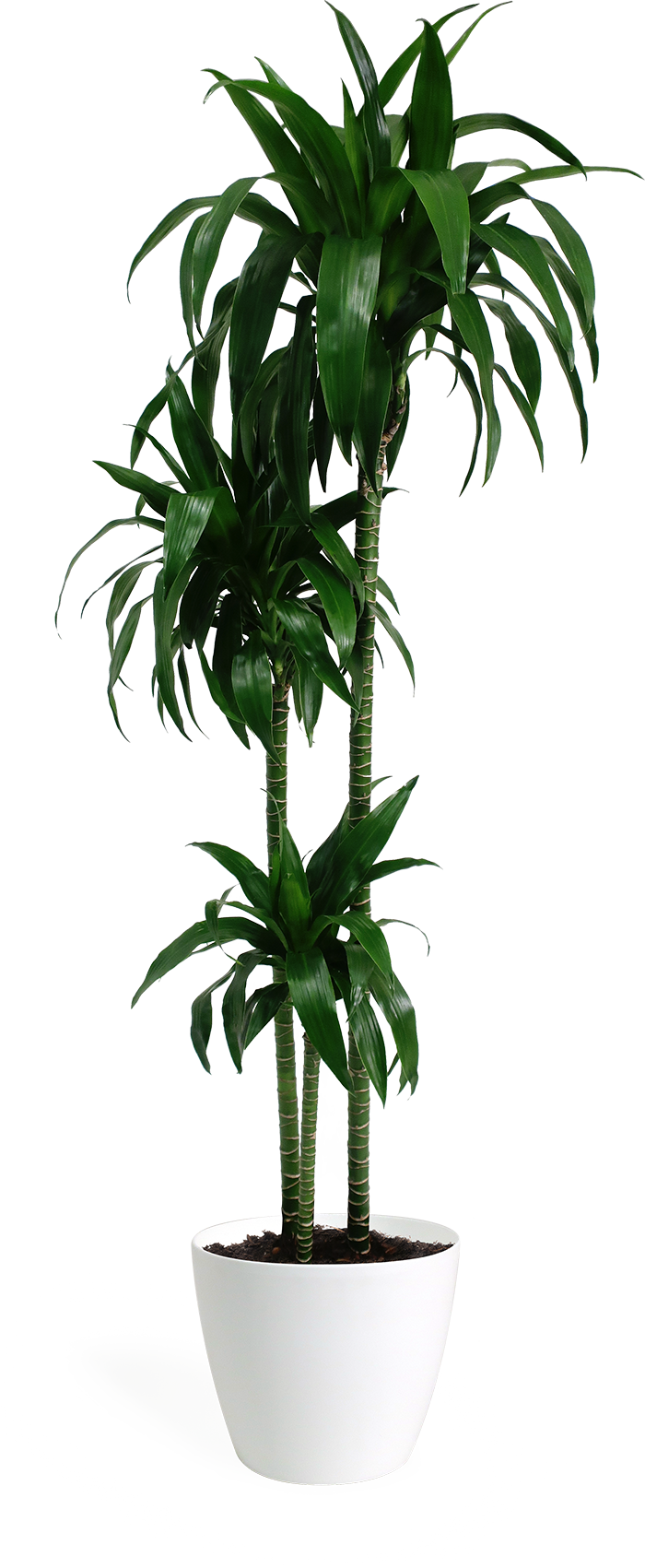 Dracaena Lisa Cane in Eva White | House plants | Indoor ...