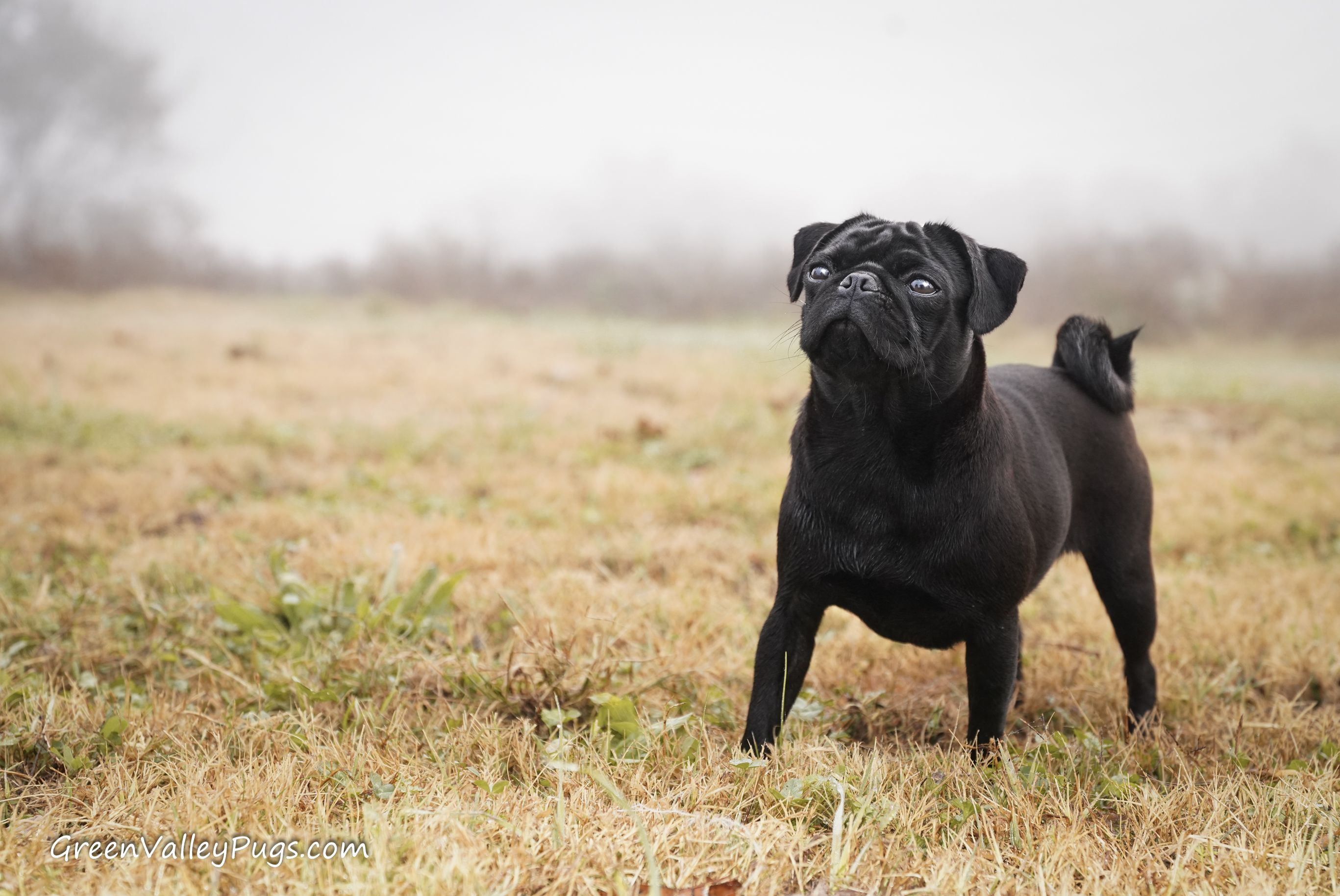 Green Valley Pugs Is Located In Northwest Arkansas We Lovingly