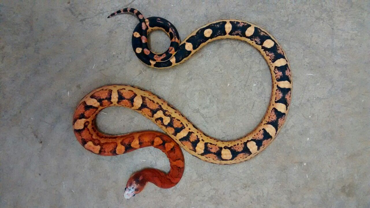 Scaleless Texas Rat Snake Photo By Cloudiiedats On Tumblr Rat Snake Reptiles And Amphibians Reptile Snakes