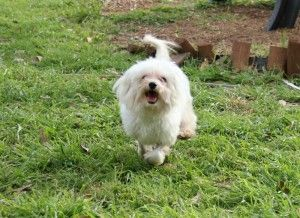Boots Is An Adoptable Maltese Dog In Houston Tx Primary Color
