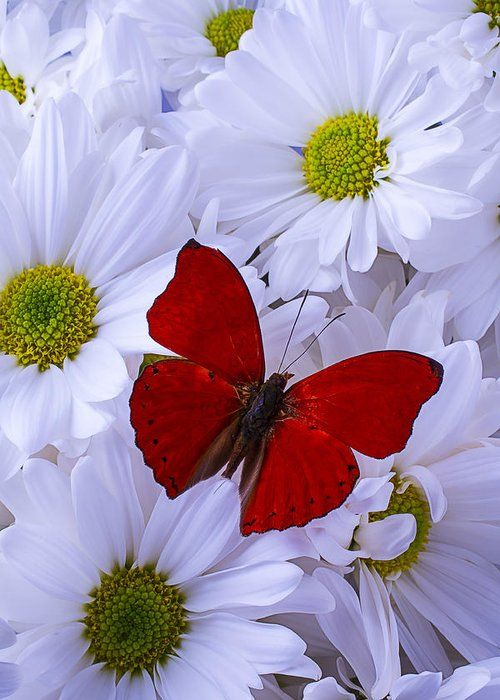 Red Wings On White Daises Greeting Card for Sale by Garry Gay
