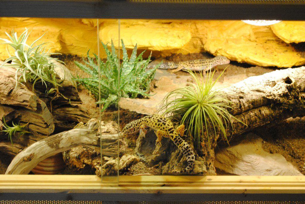 Leopardgecko Terrarium Best Habitat Ideas Leopard