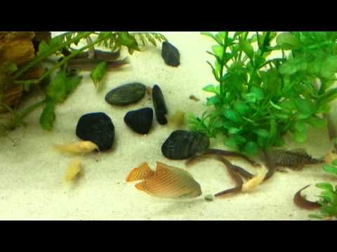 Black Kuhli Loaches Feeding Fish Pet Fish Black