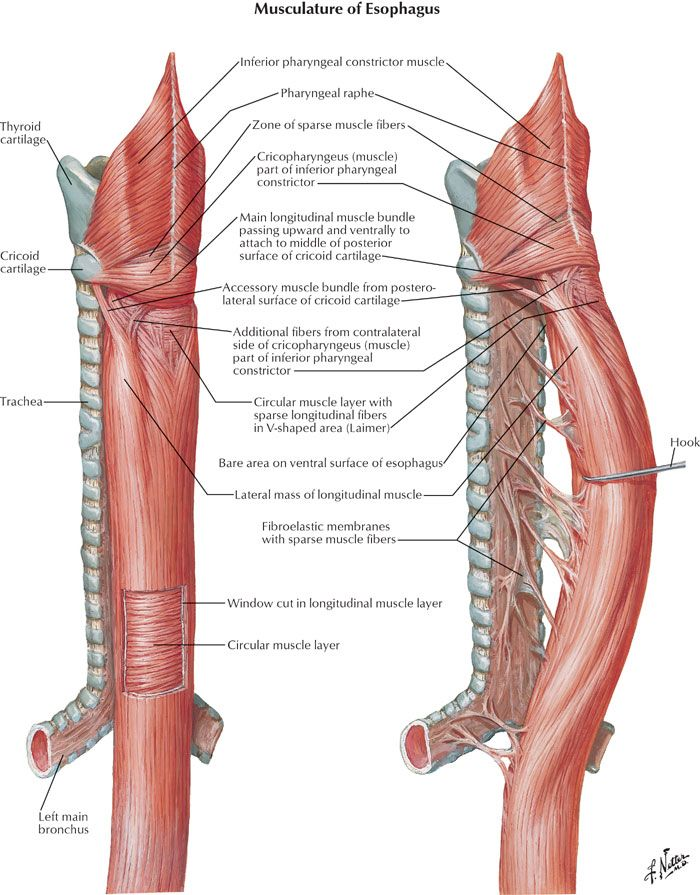 Musculature Of Esophagus Anatomy Diagram Anatomy Note World