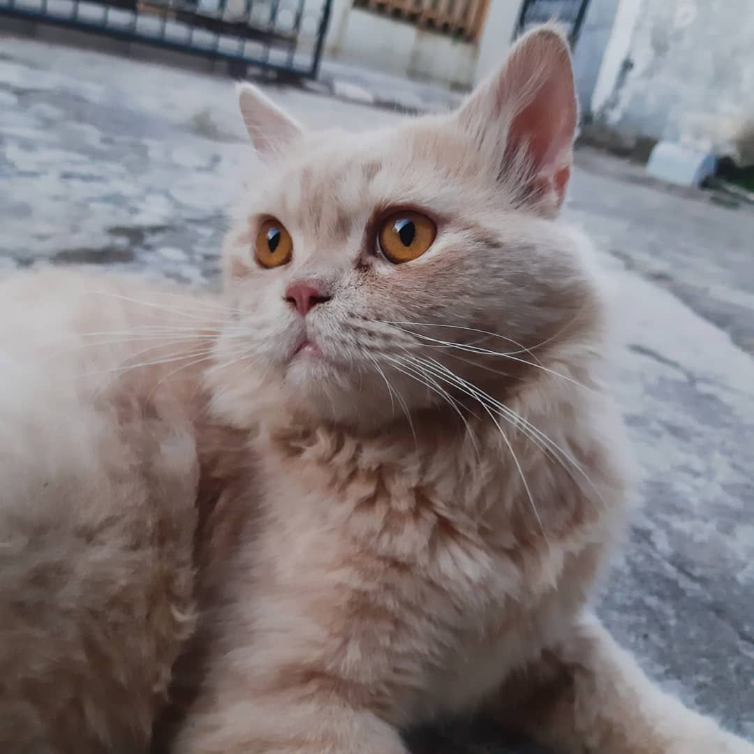 Kucheng Oren Cat Catlovers Cats Cat Lovers Animals